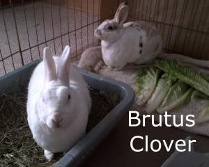 BB Brutus Clover