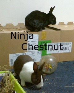 BB Chestnut Ninja