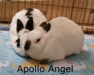 BB Angel Apollo