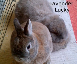 lavender Lucky